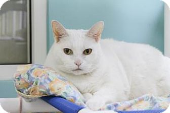 Domestic Shorthair Cat for adoption in Miami, Florida - Kitty Cat