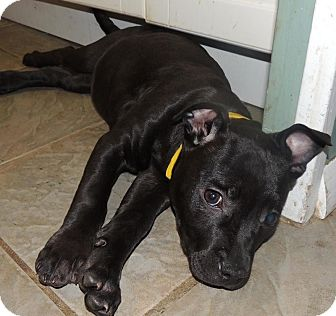 Pit Bull Terrier Mix Puppy for adoption in Trenton, New Jersey - Tessa