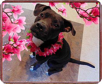 Whippet/American Pit Bull Terrier Mix Dog for adoption in Kinston, North Carolina - Vesta