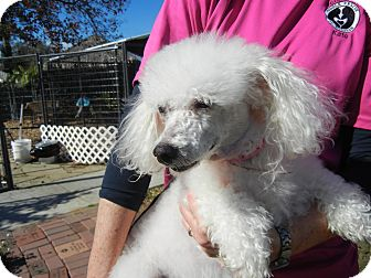Poodle (Miniature) Mix Dog for adoption in Houston, Texas - Lilly