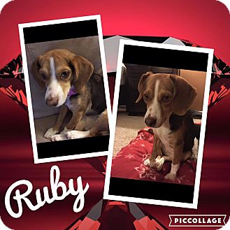 Beagle Mix Dog for adoption in ST LOUIS, Missouri - Ruby