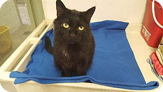 Domestic Mediumhair Cat for adoption in Indianola, Iowa - Sister