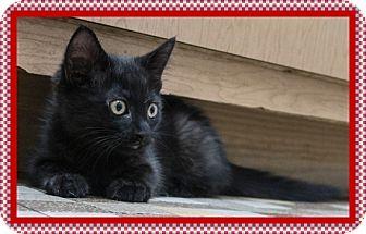Domestic Shorthair Kitten for adoption in Mt. Prospect, Illinois - TC