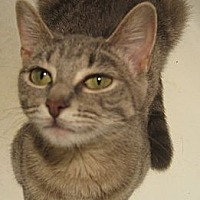 Domestic Shorthair Cat for adoption in St. Louis, Missouri - Laverne
