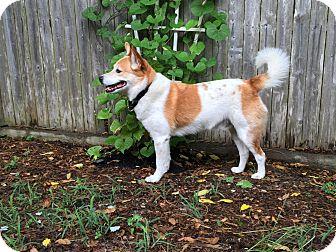 Collie/Corgi Mix Dog for adoption in Charlton, Massachusetts - Tennessee