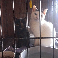 Adopt A Pet :: Angelino - Ringgold, GA