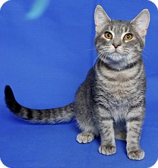 Domestic Shorthair Kitten for adoption in Gloucester, Virginia - DOVER