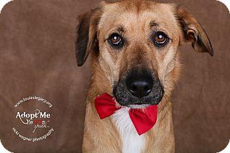 German Shepherd Dog/Labrador Retriever Mix Dog for adoption in Cincinnati, Ohio - Seuss