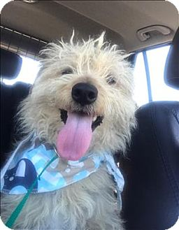 Terrier (Unknown Type, Small)/Poodle (Miniature) Mix Dog for adoption in Encino, California - Timothy