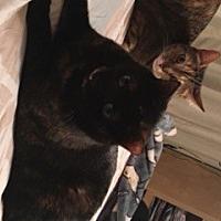 Domestic Mediumhair Cat for adoption in Pasadena, Maryland - Anna and Elsa
