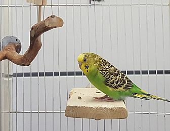 Budgie for adoption in Grandview, Missouri - Kitty and Roy