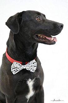 Labrador Retriever/Labrador Retriever Mix Dog for adoption in Canton, Connecticut - Charlie