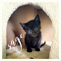 Adopt A Pet :: Sage - Wichita Falls, TX