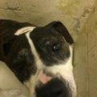 American Pit Bull Terrier Mix Dog for adoption in Paducah, Kentucky - Kane