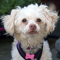 Adopt A Pet :: Sherbet - Pacific Grove, CA