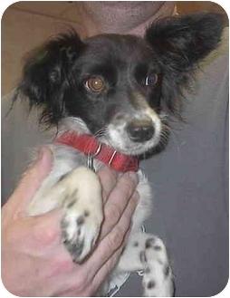 Papillon/Chihuahua Mix Dog for adoption in Sacramento, California - Muneca!