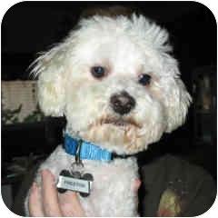 Bichon Frise Mix Puppy for adoption in La Costa, California - Preston