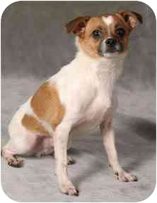 Chihuahua/Jack Russell Terrier Mix Dog for adoption in Chicago, Illinois - Patches(ADOPTED!)