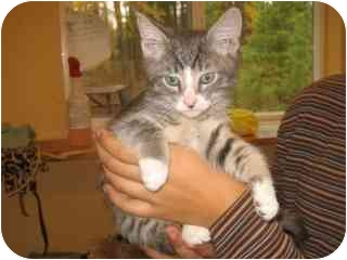 Domestic Shorthair Kitten for adoption in Libby, Montana - Timmy