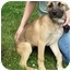 Photo 3 - German Shepherd Dog/Great Dane Mix Puppy for adoption in North Judson, Indiana - Saphire