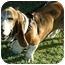 Photo 2 - Basset Hound Dog for adoption in Phoenix, Arizona - Oliver