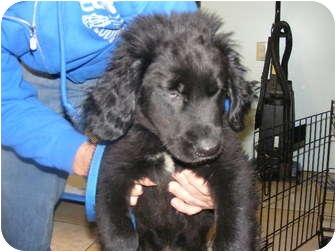 Newfoundland/Labrador Retriever Mix Puppy for adoption in Rochester, New Hampshire - Newfie