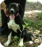 Labrador Retriever/Pointer Mix Dog for adoption in Foster, Rhode Island - Petunia