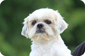 Shih Tzu Mix Dog for adoption in McKinney, Texas - Crackle
