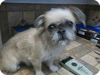 Brussels Griffon Mix Dog for adoption in Las Vegas, Nevada - Susie