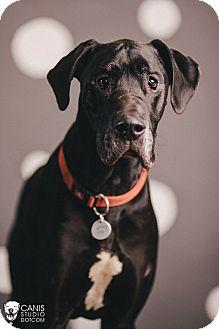 Great Dane Dog for adoption in Portland, Oregon - Lucky