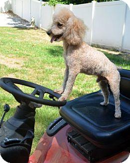 Poodle (Miniature) Mix Dog for adoption in Bridgeton, Missouri - Chance