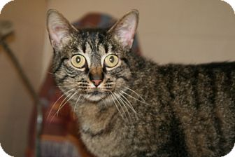 Domestic Shorthair Cat for adoption in Plainfield, Connecticut - Lexi