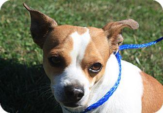 Chihuahua Mix Dog for adoption in Fairmount, Georgia - Scrappy
