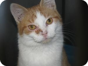Domestic Shorthair Kitten for adoption in Voorhees, New Jersey - Butterscotch