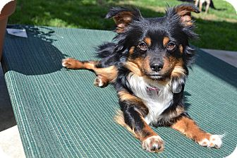 King Charles Spaniel Mix Dog for adoption in Los Angeles, California - Tucker