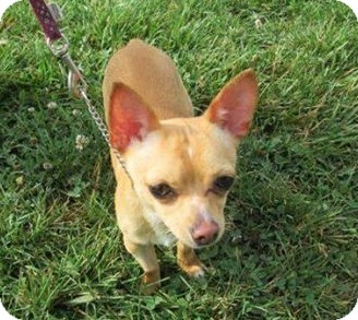 Chihuahua Mix Dog for adoption in LaGrange, Kentucky - RICO
