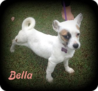 Terrier (Unknown Type, Small)/Corgi Mix Puppy for adoption in Denver, North Carolina - Bella