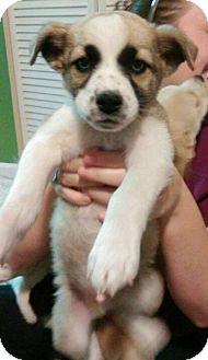 Labrador Retriever/Husky Mix Puppy for adoption in Sumter, South Carolina - BLUE