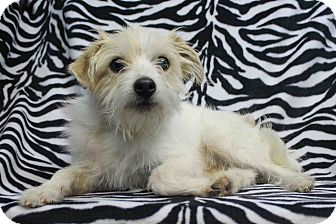 Terrier (Unknown Type, Small) Mix Dog for adoption in Westminster, Colorado - Apache