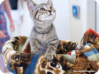 Domestic Shorthair Kitten for adoption in Huntsville, Alabama - Vidalia
