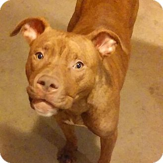 American Pit Bull Terrier Mix Puppy for adoption in South Park, Pennsylvania - Barney