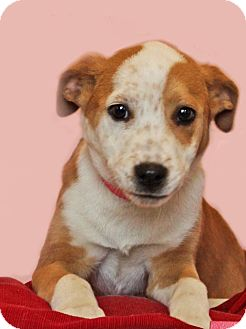 Hound (Unknown Type) Mix Puppy for adoption in Waldorf, Maryland - Gypsy