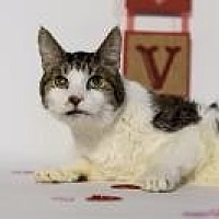 Domestic Shorthair Cat for adoption in Wayne, Pennsylvania - Clyde