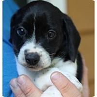 Adopt A Pet :: Mater/Si Adoption Pending - Fredericksburg, VA