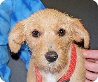 Terrier (Unknown Type, Small) Mix Puppy for adoption in Spokane, Washington - Missy