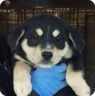 Australian Shepherd Mix Puppy for adoption in Las Vegas, Nevada - Sage's Salsa