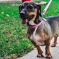 Dachshund/Shar Pei Mix Dog for adoption in Beloit, Wisconsin - Lilly Jilly Bean