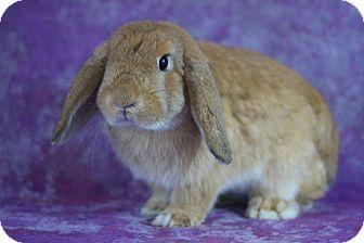Lop, Holland for adoption in Wilmington, North Carolina - Binky