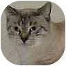 Oriental Cat for adoption in Iowa City, Iowa - Lynx