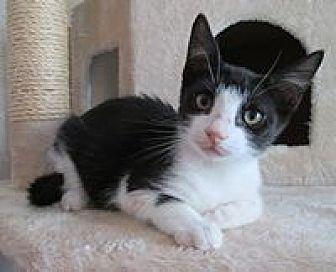 Domestic Shorthair Cat for adoption in San Bernardino, California - Chocolate